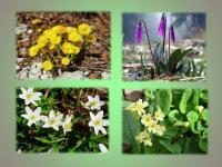 Внимание! Экологическая акция «Сохраним первоцветы Кузбасса!»